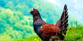 Estas 5 aves están en peligro de extinción en España