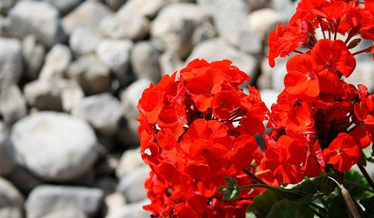 Geranios en flor